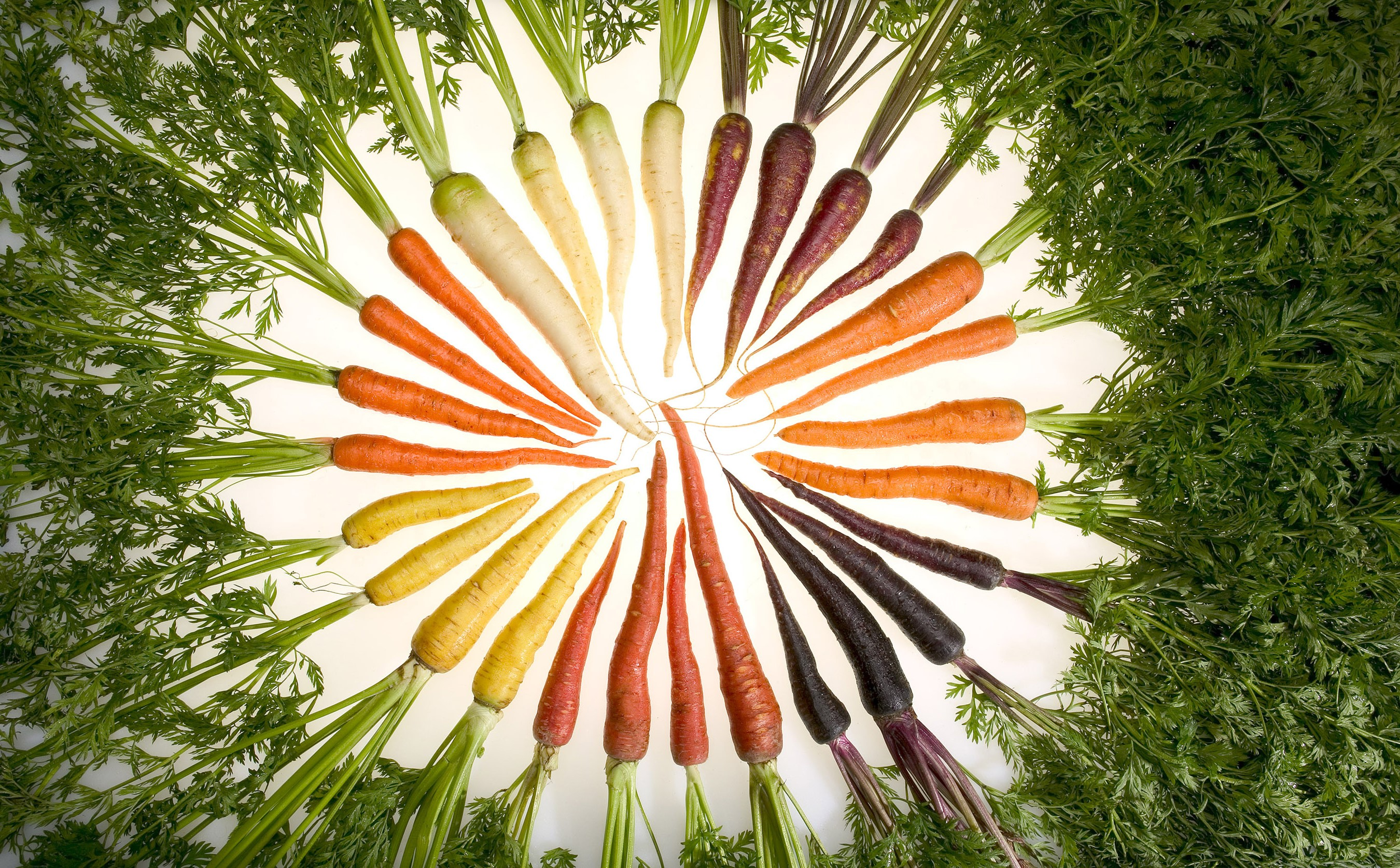 Carrot principle research paper what is a limiting factor in terms of photosynthesis