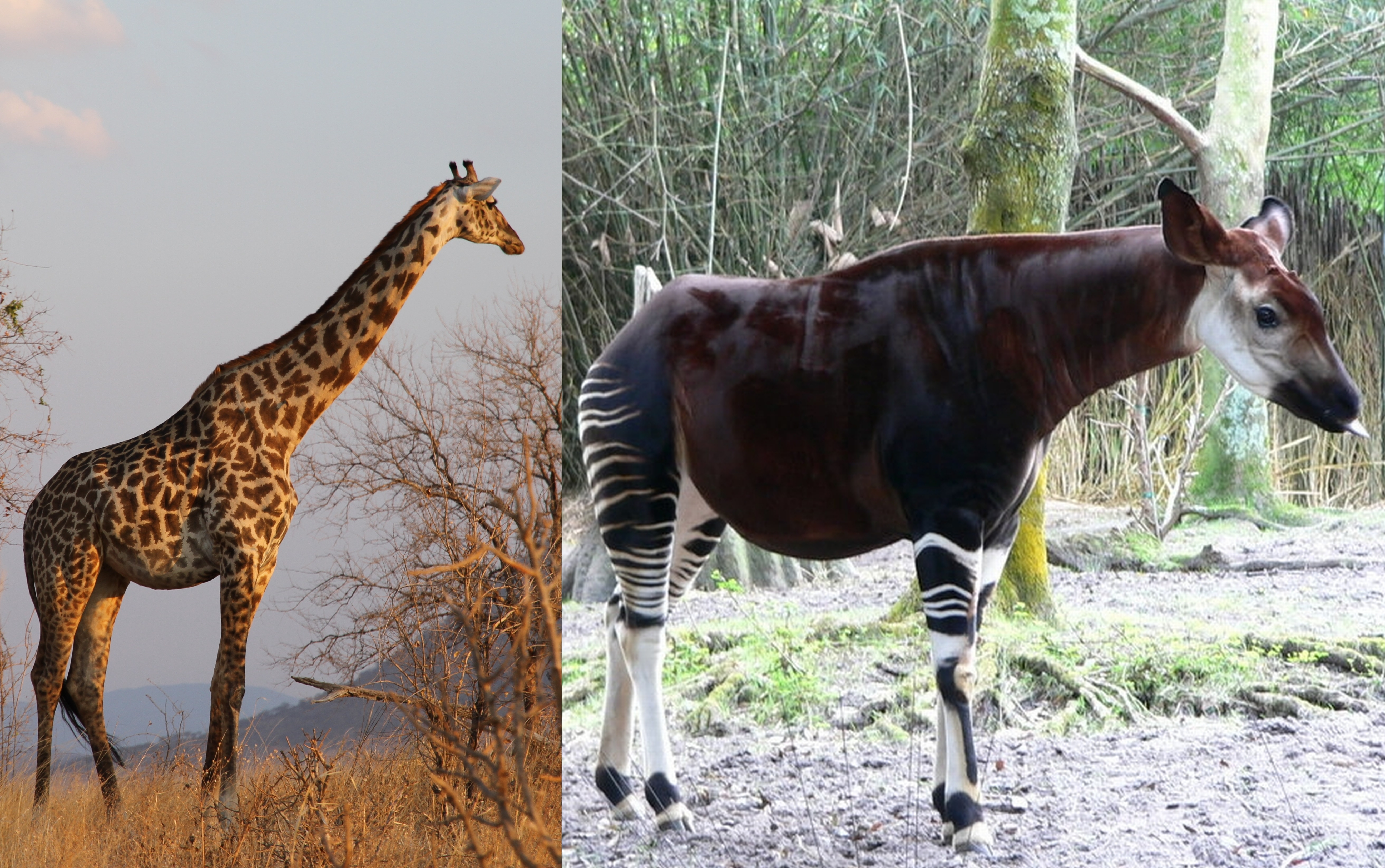 Giraffe Okapi Genomes Reveal Clues To Height Other Differences