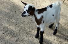 Goat kid.