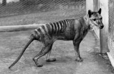 Tasmanian tiger/thylacine/Tasmanian wolf