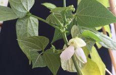 Mesoamerican common bean