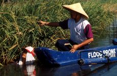 Deepwater rice in the Philippines.