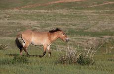 Przewalski's horse, Mongolia.